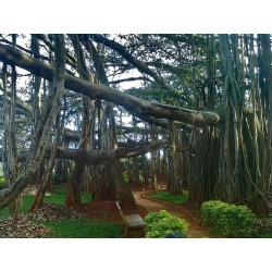 Banyan Tree Seeds 1.5 - 6
