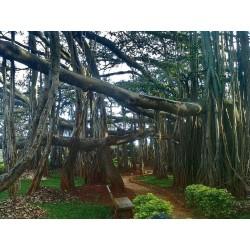 Banyan Tree Seeds 1.5 - 6