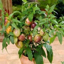 Sementes De Melão-Pêra (Solanum muricatum) 2.55 - 2