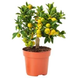 Sementes de Calamondín Naranjo chino 2.65 - 5