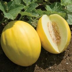 Sementes de Melão Amarelo Canaria 1.95 - 2