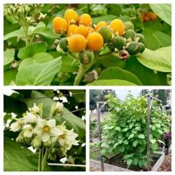Dwarf Tamarillo Seeds 2.05 - 3