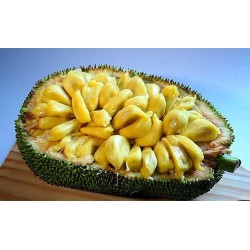 Jackfruit Seme Egzoticno Voce (Artocarpus heterophyllus) 5 - 6