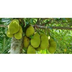 Sementes de Jaqueira - Jaca (Artocarpus heterophyllus) 5 - 8