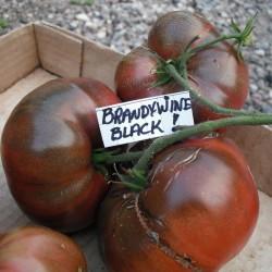 Sementes de Tomate BRANDYWINE BLACK 1.85 - 1