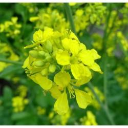 Semi di Senape Nera (Brassica nigra) 1.45 - 2