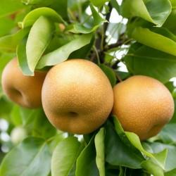 Sementes Pêra-nashi ou náxi (Pyrus pyrifolia) 3 - 2