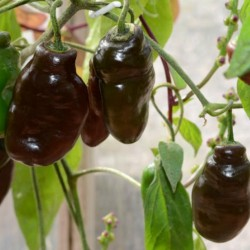 Rocoto Manzano Brown Seeds 2.5 - 2