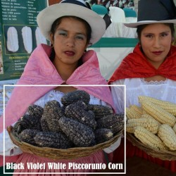 """Sementes de Milho Peruano Branco Violeta Preto """"K'uyu Chuspi"""" 2.45 - 1"""