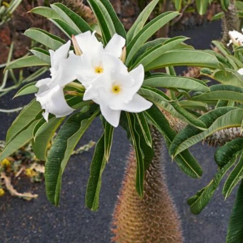 Graines de palmier de Madagascar (Pachypodium lamerei) 1.95 - 1