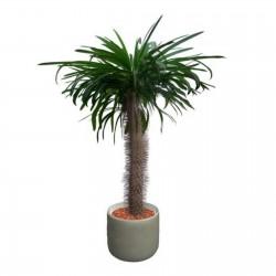 Graines de palmier de Madagascar (Pachypodium lamerei) 1.95 - 2