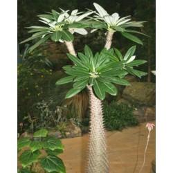 Pachypodium lamerei Samen - Madagascar Palm 1.95 - 4
