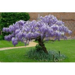 Sementes de Glicinia Azul (Wisteria Sinensis) 1.85 - 5