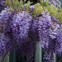 Wisteria Seeds (Wisteria sinensis) 1.85 - 11