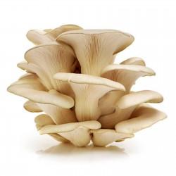 White Oyster Mushroom Mycelium Spores Seeds (Pleurotus cornucopiae) 3 - 10