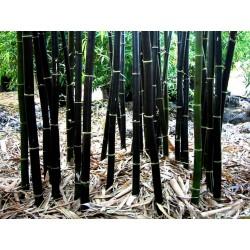 Sementes de Bambu-preto (Phyllostachys nigra)