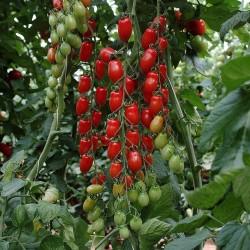 Sementes de Tomate Mini San Marzano Amarelo e vermelho 1.95 - 2