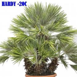 Sementes de Palmeira Européia, Palmeira Anã Mediterrânea (Chamaerops humilis) 3 - 3