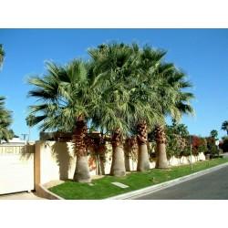 Kalifornijska lepezasta palma Seme (Washingtonia filifera) 1.75 - 3
