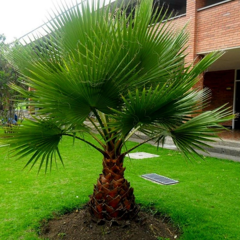 Βαμβάκι φοίνικα, Καλιφόρνια Fan Palm σπόροι 1.75 - 1