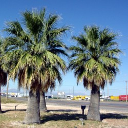 Sementes de Palmeira-de-saia (Washingtonia filifera) 1.75 - 2