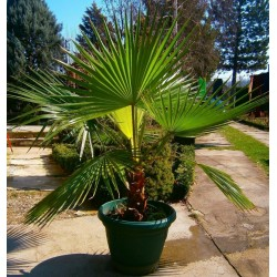 Sementes de Palmeira-de-saia (Washingtonia filifera) 1.75 - 4