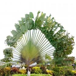 Semi di palma del viaggiatore 1.75 - 5