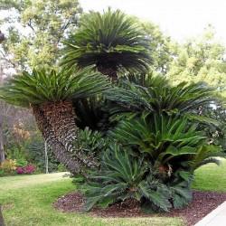 Seeds Sago Palm, King Sago, Sago Cycad, Japanese Sago Palm 1.75 - 1