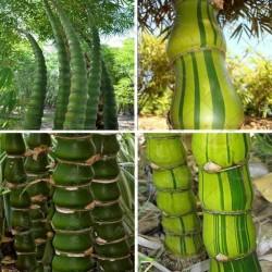 Sementes de Bambu Buda Barriga 1.95 - 3