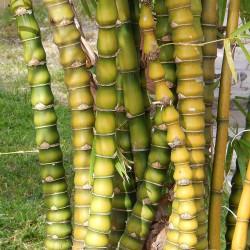 Budin Stomak Bambus Seme 1.95 - 1