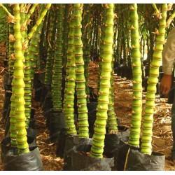 Sementes de Bambu Buda Barriga 1.95 - 2