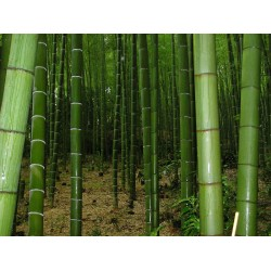 Giant Thorny Bamboo Seeds 1.6 - 2