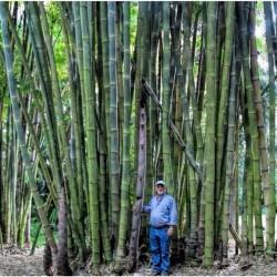 Бамбук тростниковый семена 1.6 - 4
