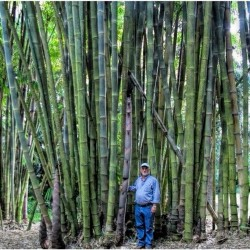 Sementes De Bambu Bambusa Arundinacea 1.6 - 4