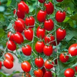 "Paradajz Seme Cherry Plum ""UNO"" 1.95 - 1"