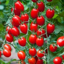 "Sementes de Tomate Cherry Plum ""UNO"" 1.95 - 1"
