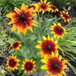 Brown-eyed Susan Seeds medicinal herb 1.55 - 1