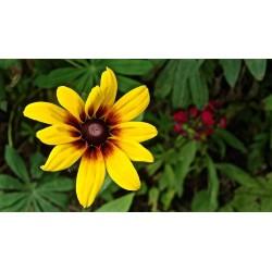 Brown-eyed Susan Seeds medicinal herb 1.55 - 2