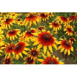 Brown-eyed Susan Seeds medicinal herb 1.55 - 3