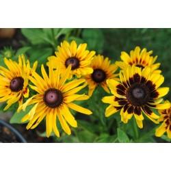 Sonnenhut Samen Heilpflanze 1.55 - 4