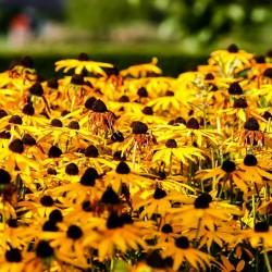 Brown-eyed Susan Seeds medicinal herb 1.55 - 5