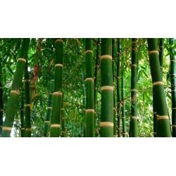 Sementes de Bambu Ferro (Dendrocalamus strictus)