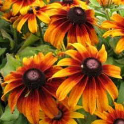 Brown-eyed Susan Seeds medicinal herb 1.55 - 7