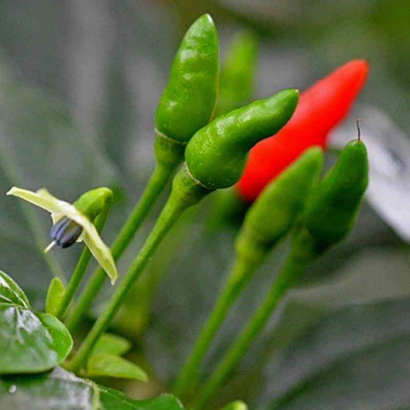 Zimbabwe Bird Chili Vagens com as Sementes 3.5 - 6