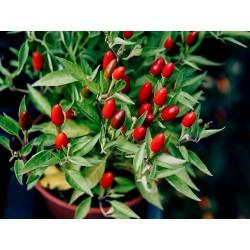 Zimbabwe Bird Chili Vagens com as Sementes 3.5 - 4