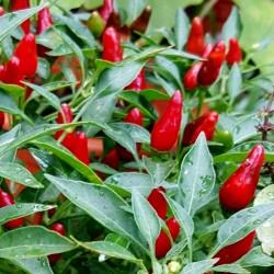 Zimbabwe Bird Chili Pods with Seeds 3.5 - 5