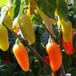 Jalapeno Numex Pinata Chili Seeds 1.75 - 1