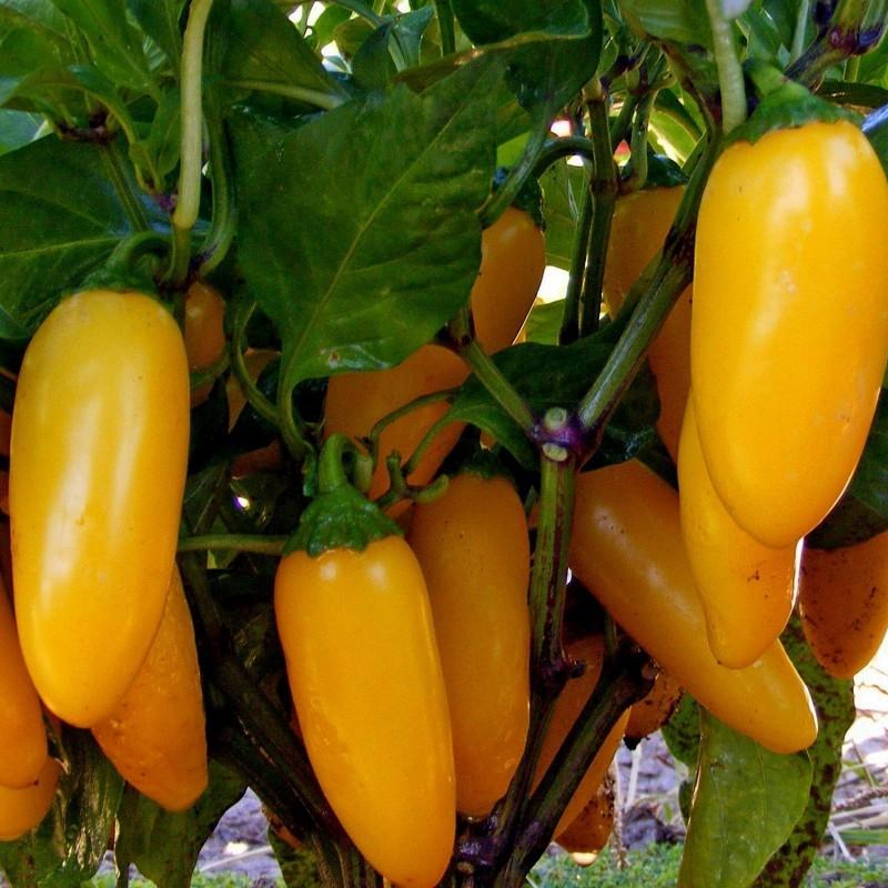 Jalapeno Numex Pinata Chili Seeds 1.75 - 3