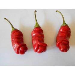 Penis Chili Samen (Peter Pepper) Saatgut 3 - 4