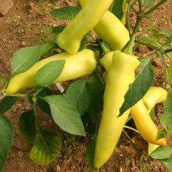 Sementes Pimenta Hungarian Wax Hot 2 - 2
